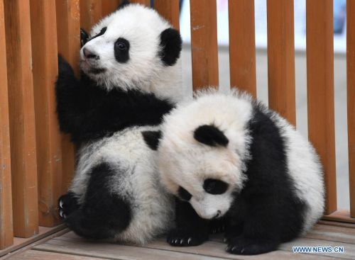 Giant panda cubs play at Qinling breeding and research center in Shaanxi