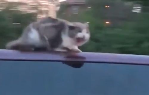 Cat clings to car as it travels around 60 mph on busy highway