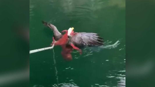 'It was heart-wrenching': Salmon farmers rescue bald eagle from octopus
