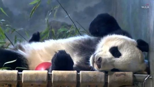 "Bei Bei goes bye bye on ""panda express"" private jet"