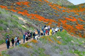 California declares public safety crisis after 50,000 tourists' arrival to see wildflowers