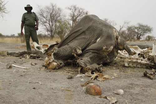 The Trump administration plans to allow trophies of elephants hunted in Zimbabwe back into the US