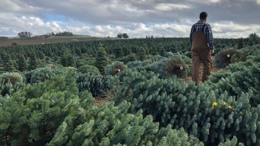 Real And Fake Christmas Tree Sellers Fight For American Hearts And Minds