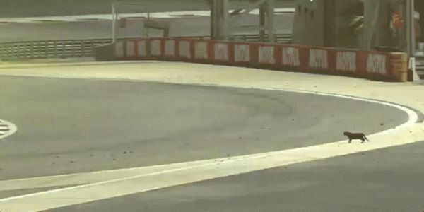 World Endurance Championship Finale Interrupted By Precious Little Kitty Cat
