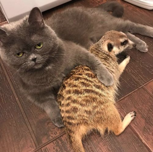 A cat and meerkat are best friends, and it's like something straight out of 'The Lion King'