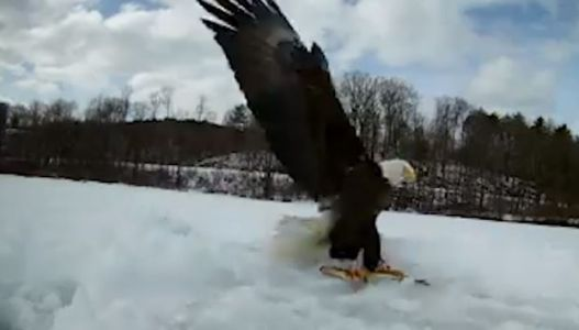 Video gives up-close look at bald eagle snatching ice fisherman's catch