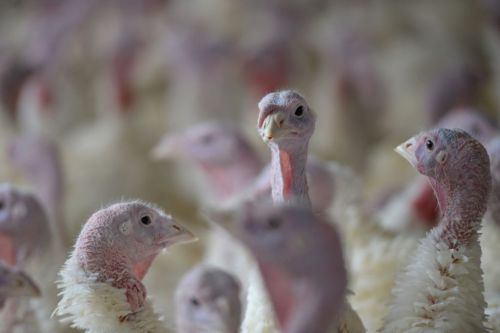 Ongoing turkey salmonella outbreak linked to 1 death, 164 illnesses