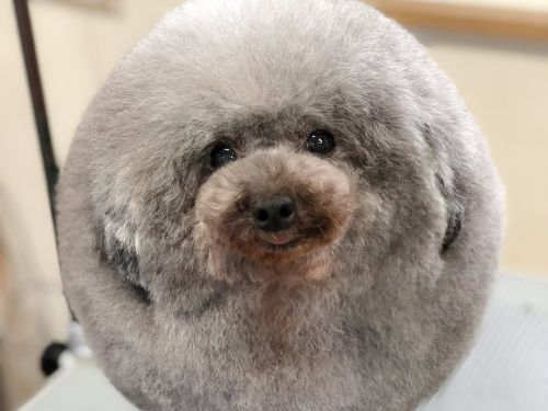 This dog came back from the groomer looking like a sheep, and it's the funniest thing you'll see all day