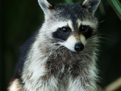 A woman got into a battle of wills with a raccoon broke into her house and stole all of her bread