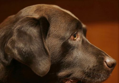 Do you have a weakness for puppy dog eyes? A Duquesne professor found we've trained our dogs that way