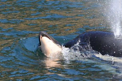 After 17 days and 1,000 miles, mother orca Tahlequah drops her dead calf