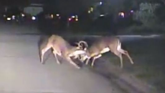 Wild deer fight caught on camera in Blue Ash