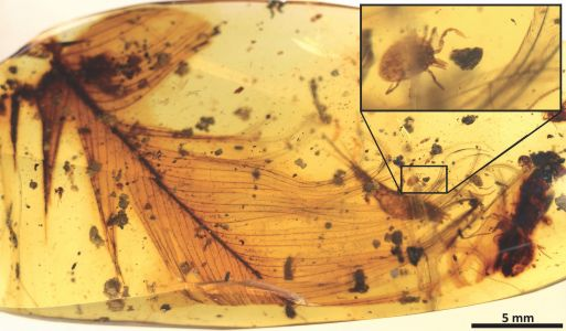 A tick buried in amber with a dinosaur feather shows that the blood-suckers preyed on dinosaurs