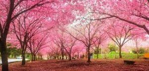 Five best places to see Cherry Blossoms in U.S