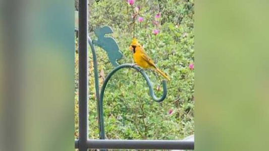 Woman spots 'one-in-a-million' yellow cardinal in her backyard