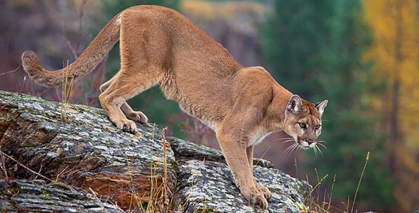 Dad uses backpack to distract mountain lion from 3-year-old son