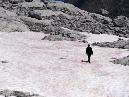 A glacier in the Italian Alps is turning pink as algae eats away the snow