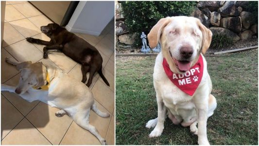 A blind Labrador named Dumpling found a new family after she was left at the pound and nursed back to health, and the photos will warm your heart