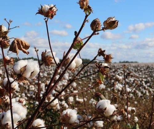 Xinjiang Cotton: A Case of Difficult Decisions
