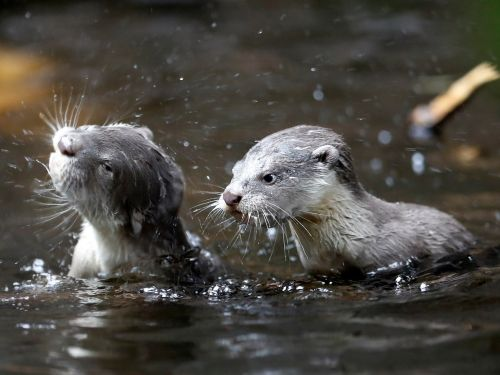 Watch a family of otters ambush an unsuspecting crocodile more than twice their size
