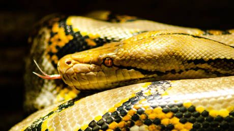 Python alert: Japanese police search for 3.5-meter pet reptile that escaped from apartment