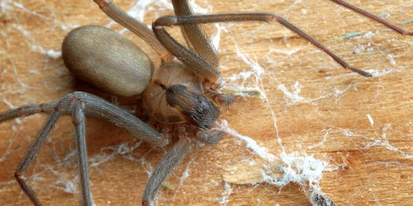 A woman in Missouri thought she had water in her ear but it was actually a venomous spider