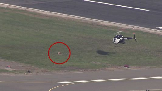 VIDEO: Coyote leads police helicopter on 'chase'
