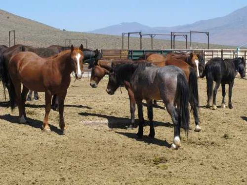 Want to get a wild horse and $1,000? The government will pay you