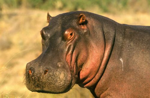 Hippo Kills Tourist Who Was Taking Photos by a Lake in Kenya