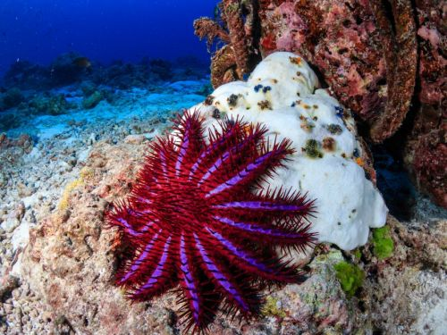 A starfish is killing the Great Barrier Reef - so Google funded an underwater drone to hunt it down