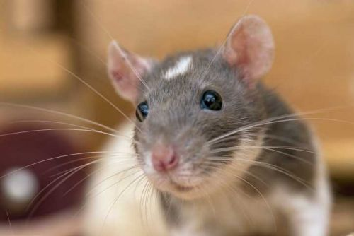 Police: Woman, 19, buys pet rat, defying her parents; tries to get dad arrested
