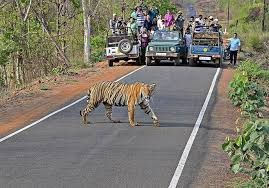 Tourism-induced stress in tigers on rise