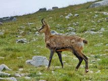 Chamois population in Pirin National Park threat by tourism zones