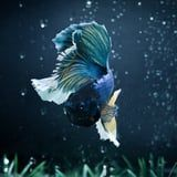 It's Not Normal for a Betta Fish to Lose a Fin - Here's How You Can Prevent It