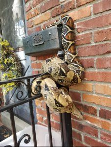 Postal worker finds 8-foot python lounging on Kansas mailbox