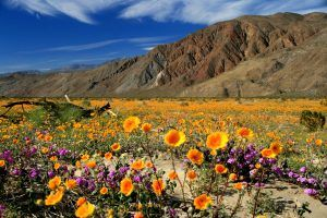 Wildflower bloom has officially begun in California