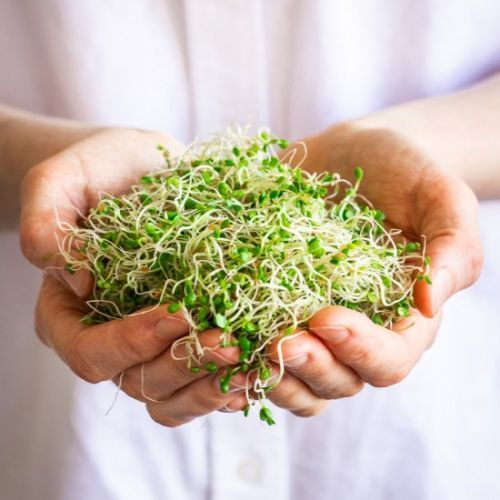 How to Grow Alfalfa Sprouts
