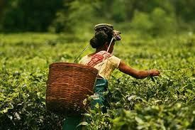 The sprawling tea gardens of India welcomes tourists with tea tourism